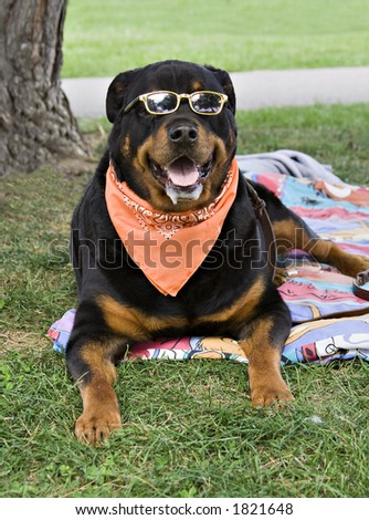 A Rottweiler enjoys a sunday afternoon in the park. - stock photo