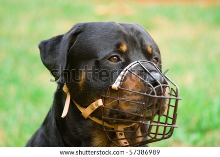 A rottweiler with a muzzle