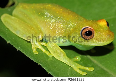 A Rough Skinned Green Glass Treefrog (Hypsiboas cinerascens) in the Peruvian Amazon