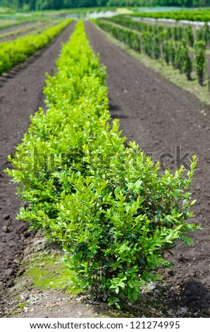 A row of boxwood plants growing in a nursery