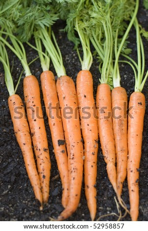 a row of carrots fresh from the garden