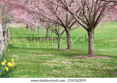 A row of cherry blossoms beginning to bloom. - stock photo
