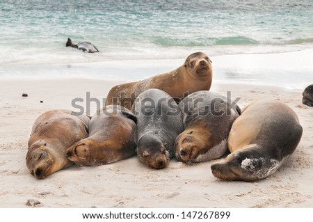 A row of Galapagos sea lions sleeping on the beach during the heat of the day. - stock photo