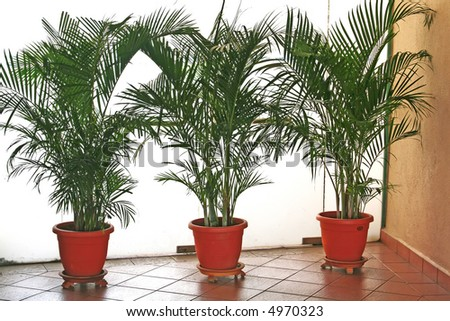 A row of office potted plants palm trees - stock photo