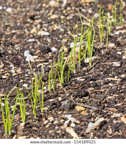 A row of young onion plants - stock photo