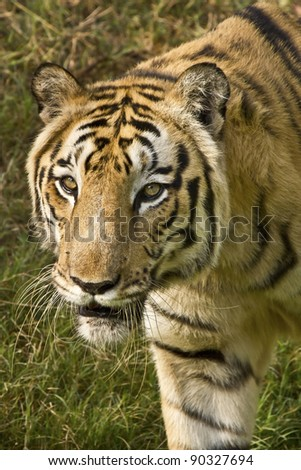 A Royal Bengal tiger looks for pray - stock photo