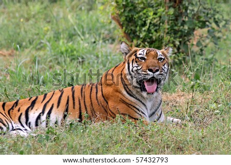 A Royal Bengal Tiger resting in New Delhi Zoo, India - stock photo
