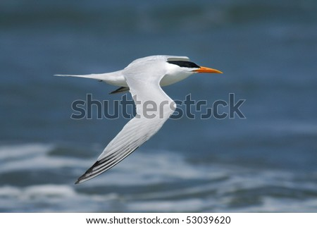 A Royal Tern flying past Tanji Beach, The Gambia, Africa - stock photo