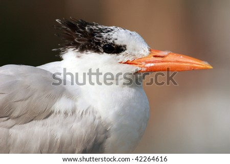 A Royal Tern perched on a dock in Central Florida - stock photo