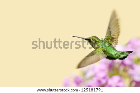 A ruby throated hummingbird (archilochus colubris)  flying through a sprinkle of water in the garden on a hot summer day with copy space. - stock photo