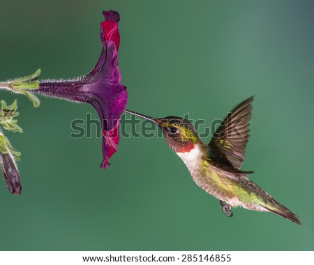 A ruby-throated hummingbird flying into a petunia flower. - stock photo