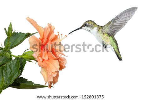 a ruby throated hummingbird hovers over a fully bloomed hibiscus in search of pollen and nectar. White background. - stock photo