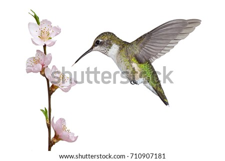 A ruby throated hummingbird hovers over a pink fruit tree blossom. Its tongue darts toward the stamen and pistil of in search of the bloom's sweet nectar. White background