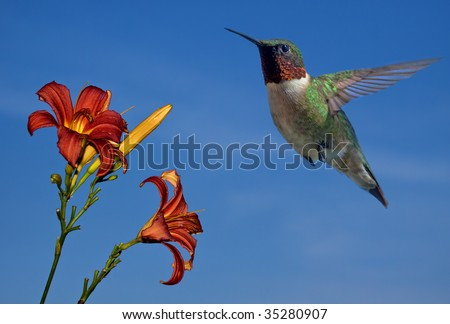 A ruby throated hummingbird in the garden