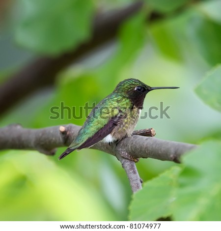 A Ruby-throated Hummingbird perched in a tree with a green background. - stock photo
