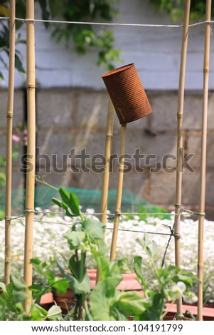 A rusty can set on top of some bamboo poles, used as a bird scarer amongst organically growing broad beans. Set in a small city garden vegetable plot.