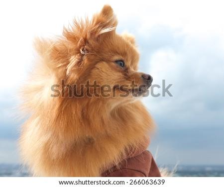 A sable Pomeranian dog - stock photo