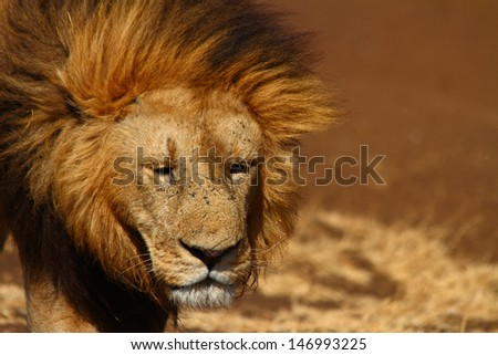 A sad expressioned male lion looks toward the camera