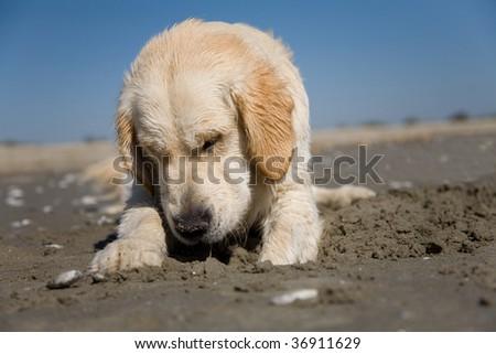 A sad golden retriever on the beach - stock photo