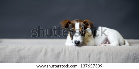 a sad Jack Russell Terrier puppy lying and looking before gray background  - stock photo