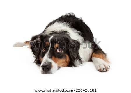 A sad looking Australian Shepherd Dog laying with its head down on the ground while looking upwards.