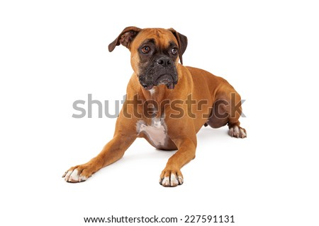 A sad looking Boxer Dog laying with outstretched paws and looking upwards.