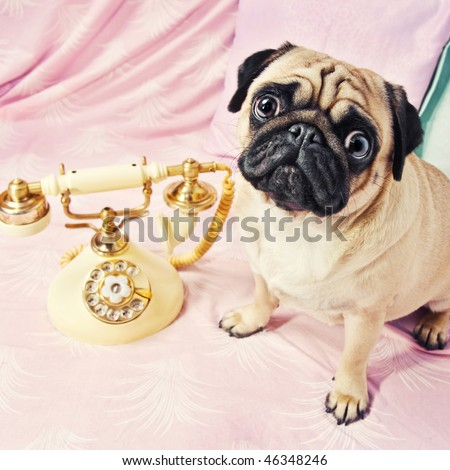 A sad looking pug waiting by the phone - stock photo