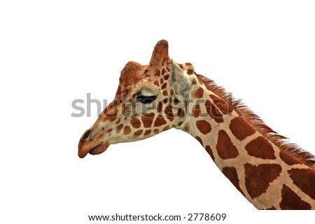 A sad looking reticulated giraffe isolated on white.