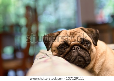 A sad pug lays his head on the couch on a rainy day. - stock photo