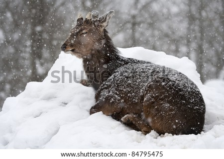 A sad sika deer (Cervus nippon) crouching during a snowfall. - stock photo