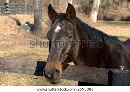 A saddle horse photographed in a northern Virginia pasture. - stock photo