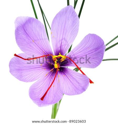 a saffron flower on a white background - stock photo