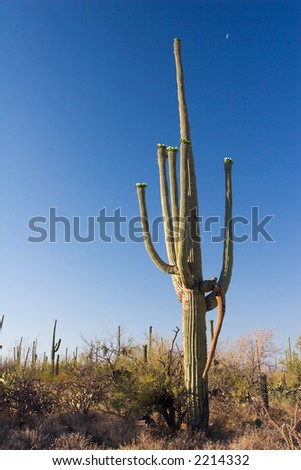 A Saguaro on a clear afternoon in the Saguaro National Monument, Arizona, USA.