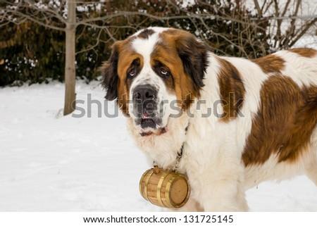 A Saint Bernard dog wearing a barrel in snowy weather. - stock photo