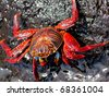 A Sally Lightfoot Crab (Grapsus grapsus) in the Galapagos Islands - stock photo
