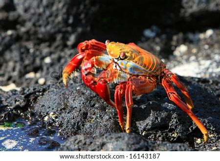 A Sally Lightfoot Crab on the volcanic rocks of the Galapagos Islands - stock photo