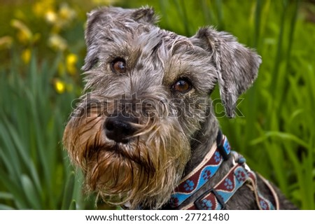 A salt and pepper miniature schnauzer dog outdoors in the springtime - stock photo