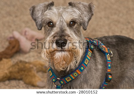A salt and pepper miniature schnauzer dog posing in front of a pile of dog toys - stock photo