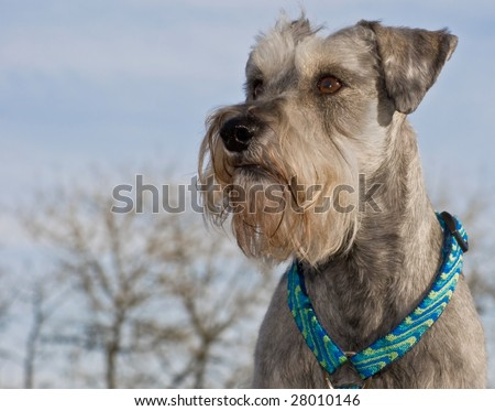 A salt and pepper miniature schnauzer posing in profile in front of a blue sky background - stock photo