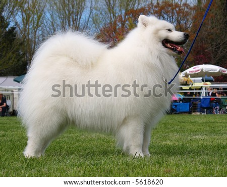 A samoyed standing ready to catch the judge's eye