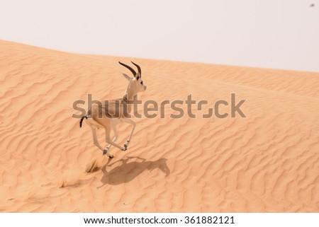 A sand gazelle (Gazella subgutturosa marica - Al gazal al rheem in Arabic) runs over the dunes in the Dubai Desert Conservation Area  - UAE - stock photo