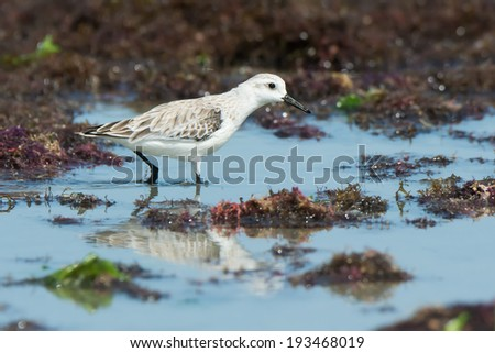A Sanderling (Caladris alba) wading on a seaweed strewn beach - stock photo