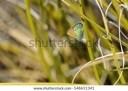 A Sandia Hairstreak, the New Mexico State Butterfly, rests on a stalk of Texas Beargrass. The Sandia Hairstreak caterpillars will grow up eating the beautiful flowers of the beargrass plant.