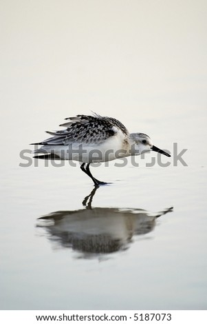 A sandpiper shore bird stands on the beach. - stock photo