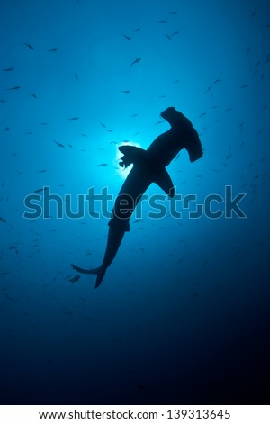 A Scalloped hammerhead cruises in blue water off Cocos Island, Costa Rica.  Cocos is known for its large shark population. - stock photo