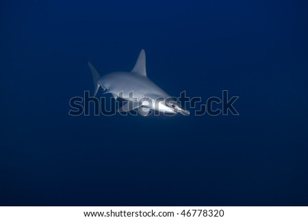 Hammerhead Shark Endangered | Scalloped Hammerhead Shark Sphyrna Lewini Endangered Stock Photo