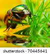 A scarab beetle over a pond. Close up with shallow  DOF. - stock photo