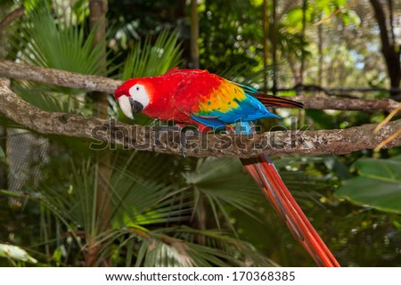 A scarlet macaw bird with brightly colored feathers, perched on a branch with a curious look. - stock photo