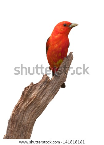 A scarlet tanager perched upright and looking to the right  on a piece of driftwood. The songbird'??s brilliant red plumage along with its yellow belly feathers are visible. White background.