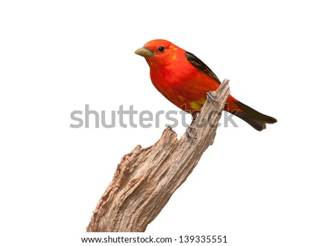 A scarlet tanager  posed on a piece of driftwood. Its brilliant red plumage contrasted against its midnight black wings, make this one of the most gorgeous songbirds of the forest. White background.